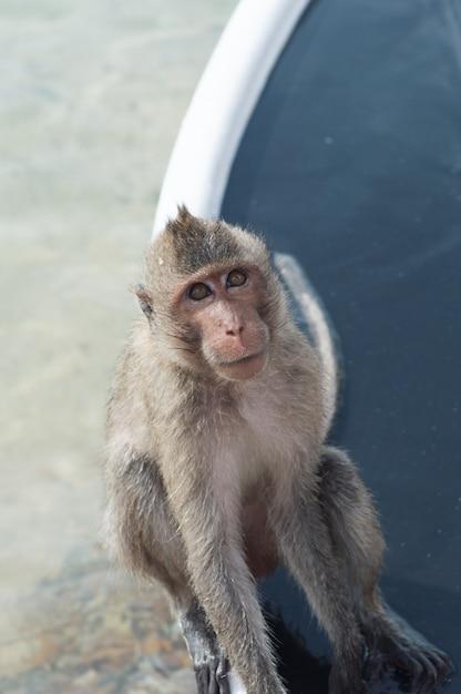 Île des singes, thaïlande les singes sont sur le bateau par le bach Photo Premium