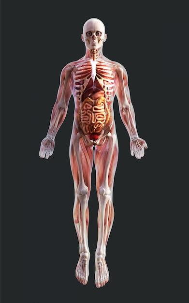 Illustration 3d d'un système musculaire squelettique masculin, d'un système osseux et digestif avec un tracé de détourage Photo Premium