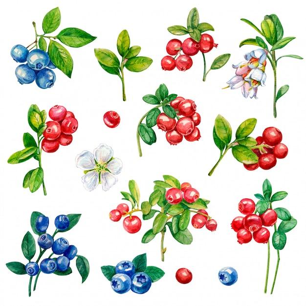 Illustration aquarelle de baies. airelle rouge, myrtille, fleurs. Photo Premium