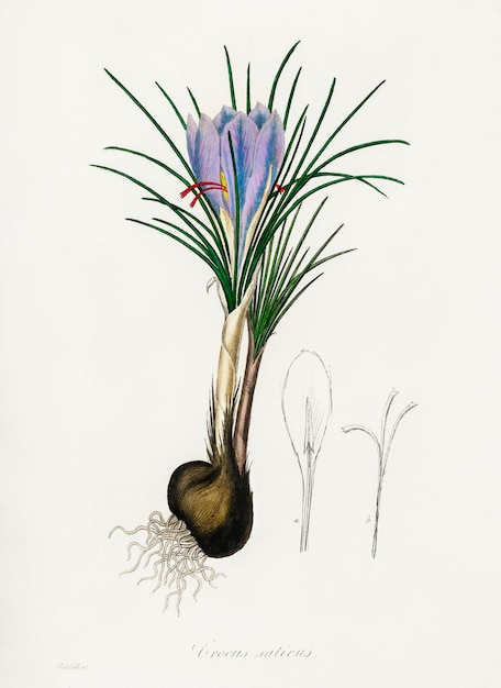 Illustration de crocus safran (crocus sativus) de medical botany (1836) Photo gratuit