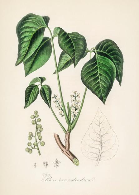 Illustration de l'herbe à puce (rhus toxicodendron) de medical botany (1836) Photo gratuit