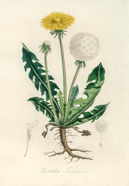 Illustration de leontodon taraxacuma de medical botany (1836) Photo gratuit