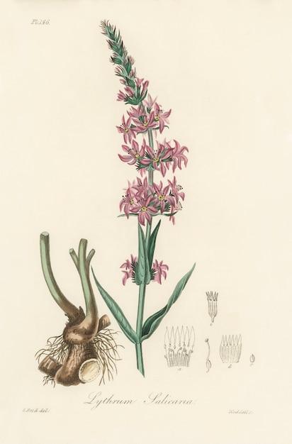 Illustration de la salicaire pourpre (lythrum salicaria) d'après medical botany (1836) Photo gratuit