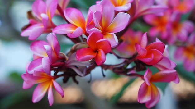 Une image de fleur de frangipanier rouge Photo Premium