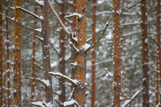 Une Image De La Forêt De Museau D'hiver De Jour. Arbres Sans Feuilles Dans La Neige En Hiver Photo Premium