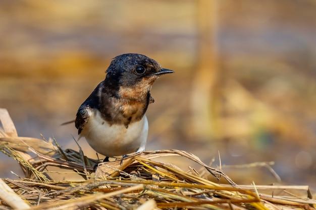 Image D'hirondelle Rustique (hirundo Rustica) Sur Le Naturel. Oiseau. Animal. Photo Premium