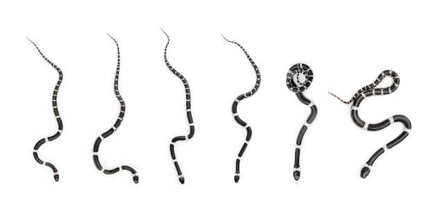 Image D'un Petit Serpent (lycodon Laoensis), Reptile, Animaux Photo Premium