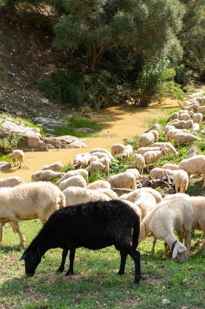 Immense troupeau de moutons et de chèvres. Photo Premium