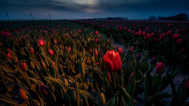 Incroyable Coup De Champ De Tulipes Rouges Sur Un Beau Coucher De Soleil Photo gratuit