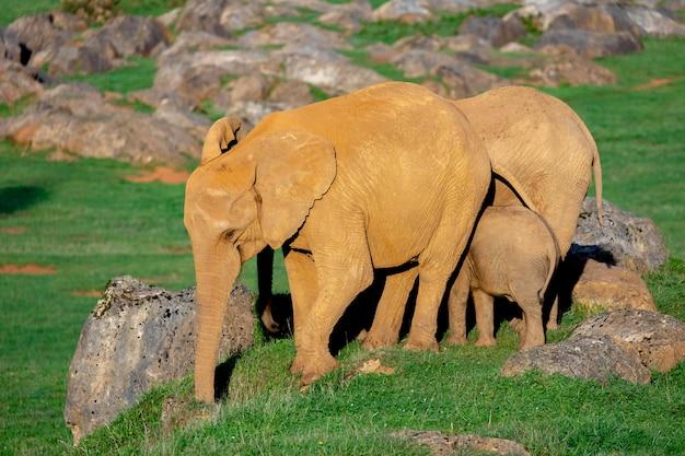 Incroyable famille d'éléphants. maman, papa et le fils Photo Premium