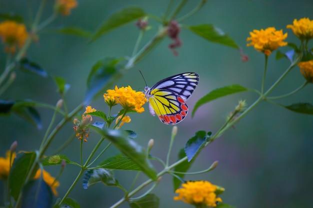 Indian jezebel butterfly Photo Premium