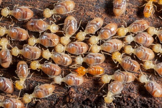 Insectes Termites En Colonie Sur Bois Photo Premium