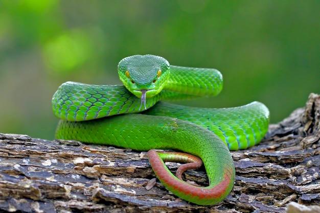 Insularis Vert Vipère, Serpents Timreresurus Albolabris Photo Premium