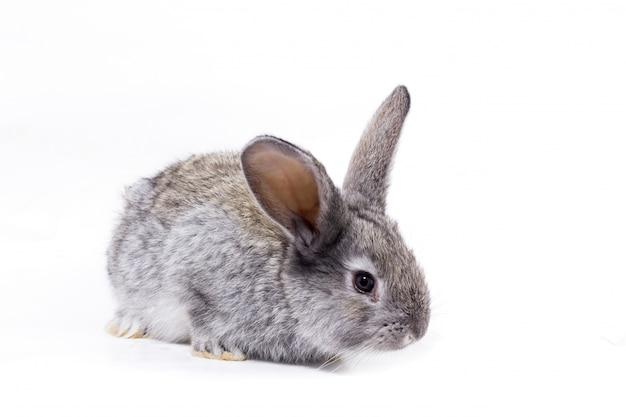 Isolat de lapin gris, beau lapin décoratif jouant au lapin Photo Premium