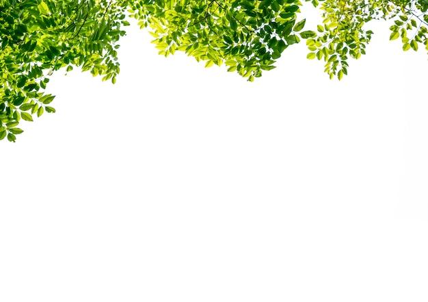 Isolé de la belle branche d'arbre avec une feuille colorée sur fond blanc. tracé de détourage et espace de copie - image. Photo Premium