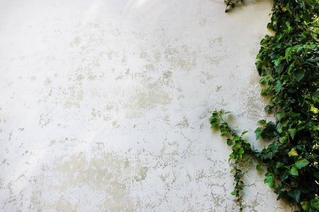Ivy quitte l'île sur un mur de briques blanches Photo Premium
