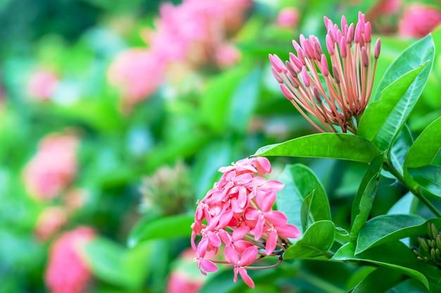 Ixora ou jasmin des indes occidentales, belle fleur rose qui fleurit dans le jardin Photo Premium