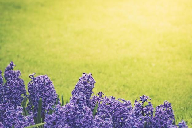 Jacinthes violettes vives sur un pré Photo Premium