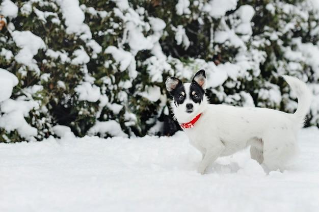 Jack russel chien dans la neige Photo Premium