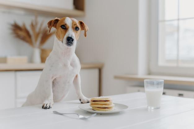 Jack Russell Terrier Garde Les Deux Pattes Sur La Table Avec Des Crêpes Photo Premium