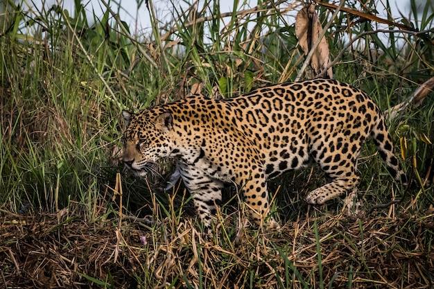 Jaguar marchant dans la nature faune en pantanal. Photo Premium