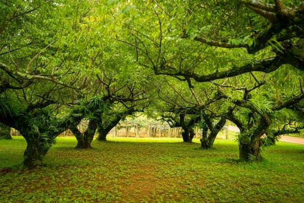 Jardin D'abricot Japonais. Flou Artistique. Photo Premium