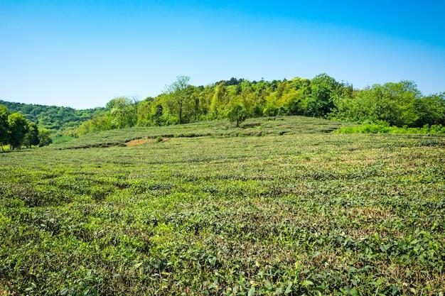 Jardin du thé vert, culture de la colline Photo gratuit