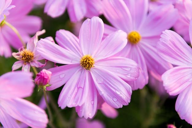 Jardin de fleurs cosmos closeup rose Photo Premium