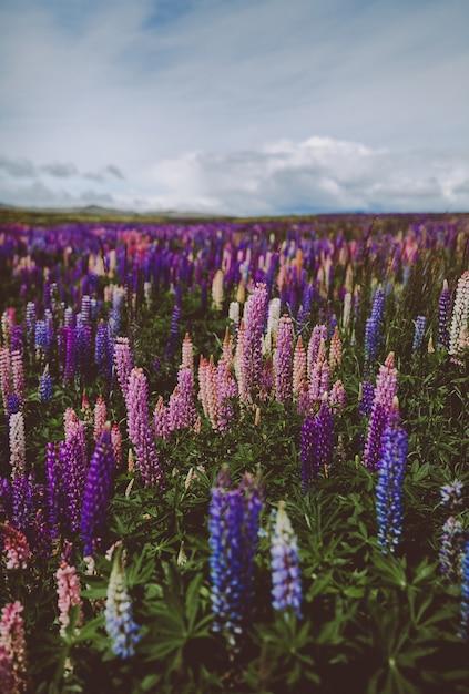 Jardin De Lavande En Nouvelle-zélande Sous Un Ciel Nuageux Avec Un Arrière-plan Flou Photo gratuit