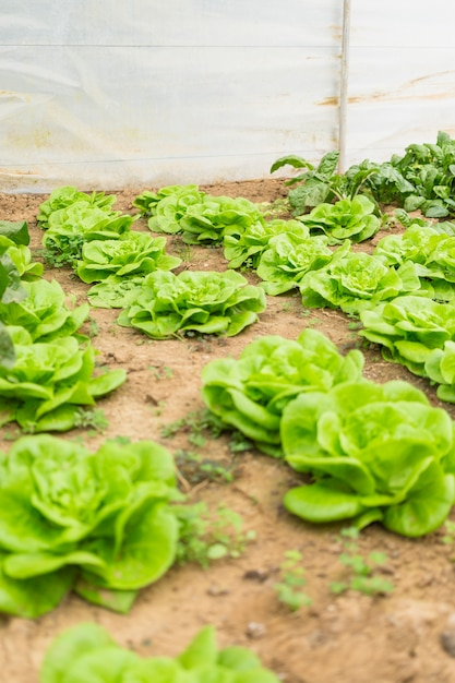 Jardin de légumes Photo gratuit