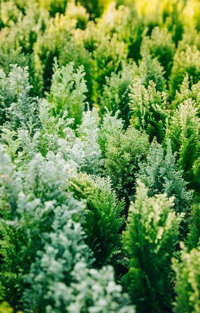 Jardin de plantation de thuya de conifères verts naturels Photo gratuit