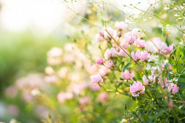 Jardin de roses roses avec arrière-plan flou Photo Premium