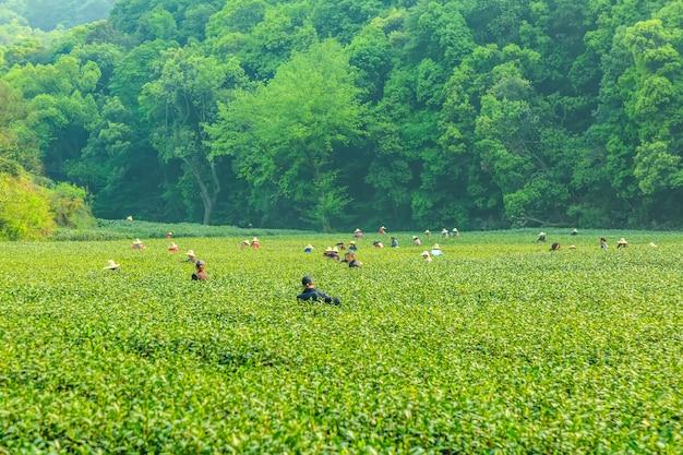 Jardin De Thé De Longjing à West Lake Photo Premium
