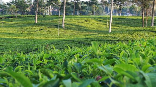 Jardin de thé naturel Photo Premium
