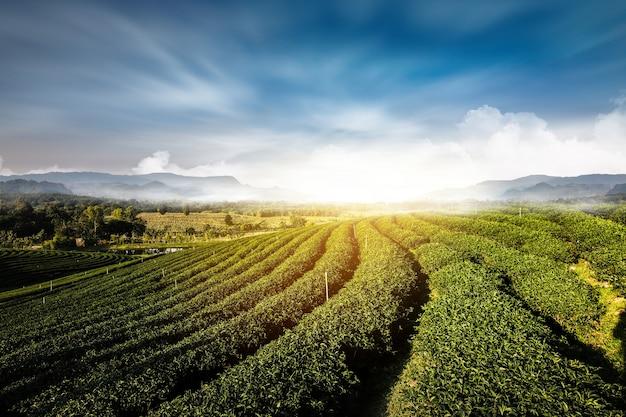Jardin de thé vert paysage coucher de soleil culture Photo Premium