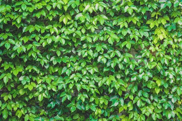 Jardin vertical, feuilles vertes mur texture fond, plante grimpante sur le mur de pierre Photo Premium