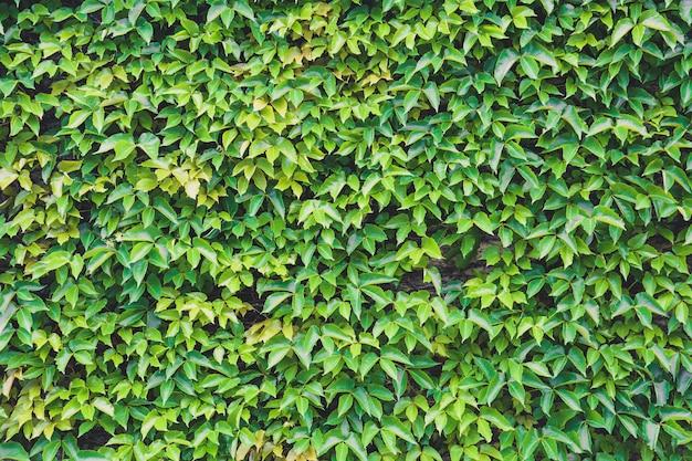 Jardin vertical, texture de mur en béton recouvert de plantes vertes et naturelles Photo Premium