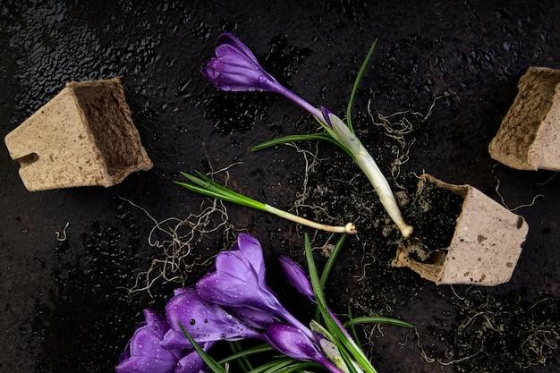Jardinage. pots de tourbe, fleur de crocus et jeunes plants. printemps Photo Premium