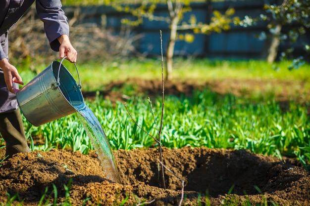 Jardinier arroser des seaux jeune arbre fruitier dans la garde de printemps. Photo Premium