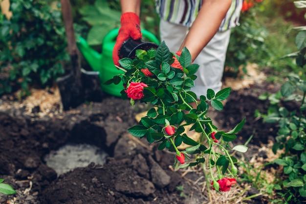 Jardinier de femme transplantant des fleurs roses du pot dans un sol humide. Photo Premium