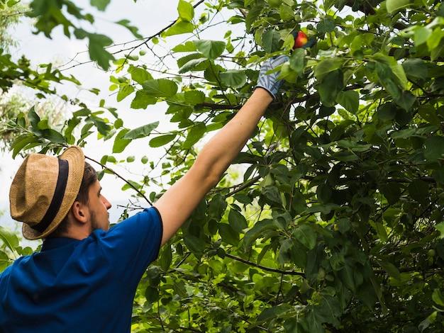 Un jardinier mâle cueillant une pomme rouge de l'arbre Photo gratuit