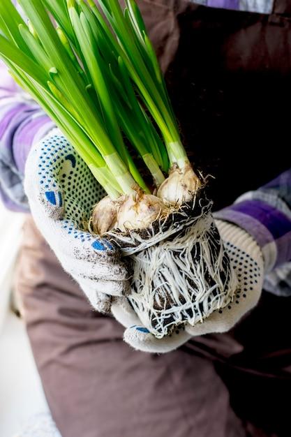 Le jardinier tient une fleur avec des racines dans ses mains. Photo Premium