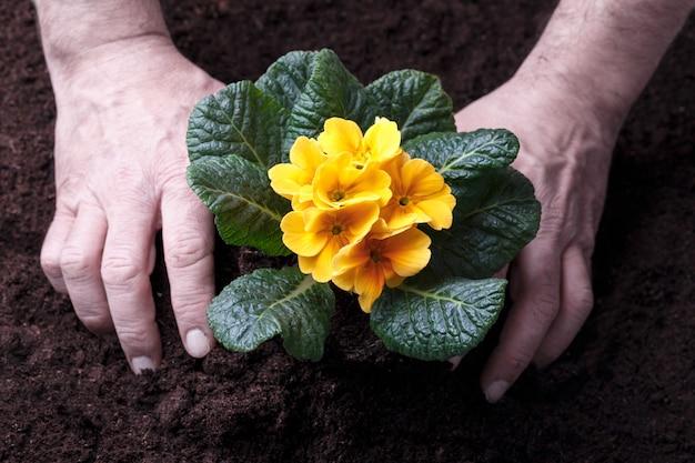 Jardinier Transplantant Des Primevères Jaunes Photo Premium