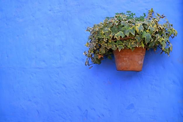 Jardinière en terre cuite de lierre algérien vert sur le vieux mur vibrant de couleur bleu vif Photo Premium