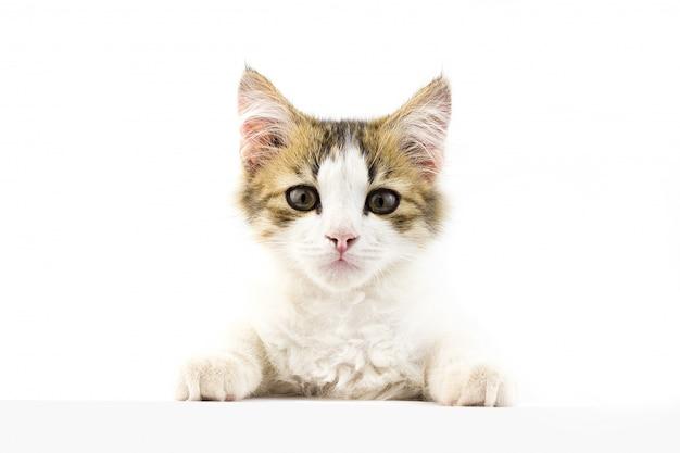 Jeune chat regardant devant. placez sous l'inscription Photo Premium