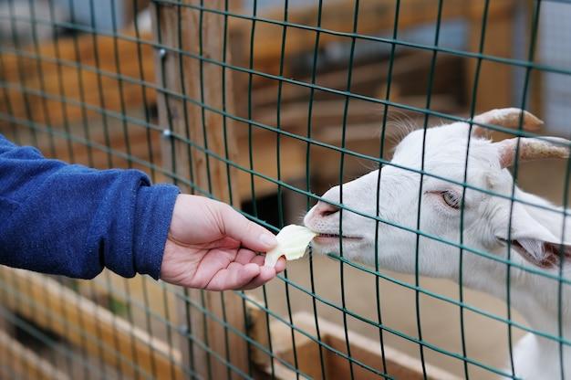 Jeune chèvre mangeant de la main Photo Premium