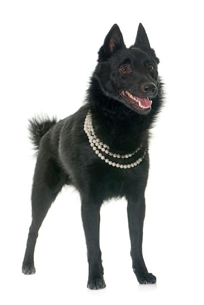 Jeune chien schipperke Photo Premium