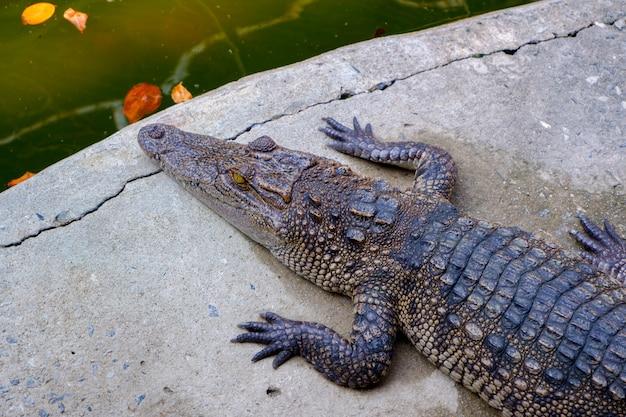 Jeune crocodile se reposant sur le sol Photo Premium