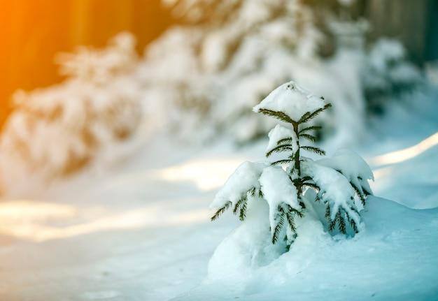 Jeune épicéa aux aiguilles vertes recouverte de neige épaisse Photo Premium