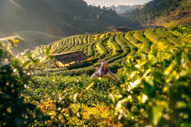 Une jeune femme ramasse des feuilles de thé le matin dans une plantation de thé à chiang mai, en thaïlande. Photo Premium